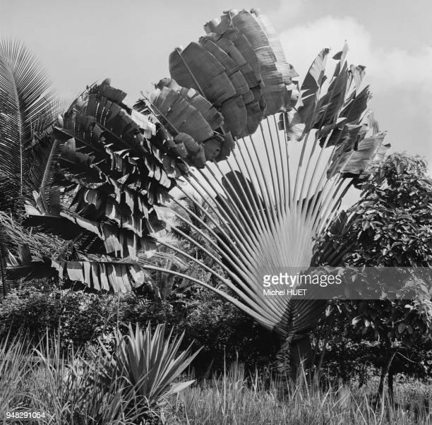 Arbre du voyageur dans un parc à Libreville circa 1950 Gabon