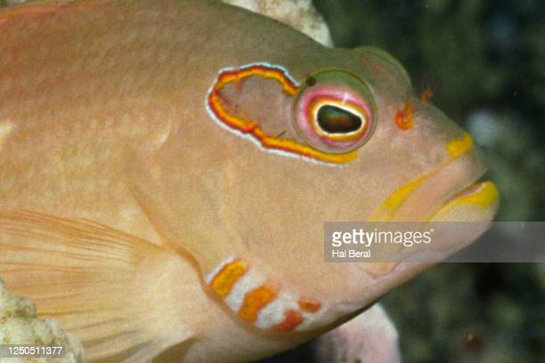 arc-eye hawkfish - hawkfish stock pictures, royalty-free photos & images