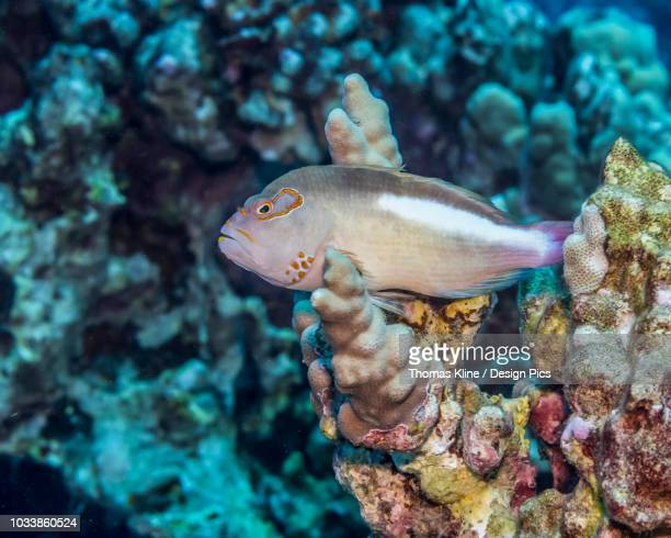 arc-eye hawkfish (paracirrhites arcatus) resting on finger coral (porites compressa) off the kona coast - hawkfish stock pictures, royalty-free photos & images