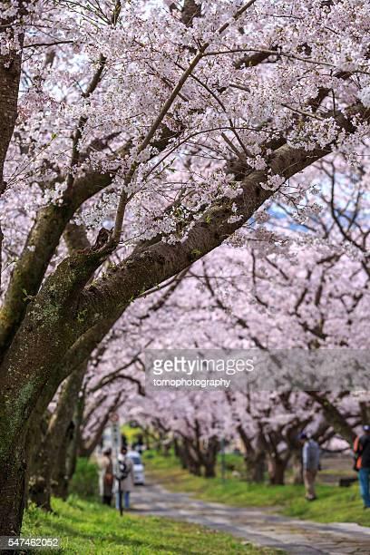 arch of japanese sakura blossom - 佐賀県 ストックフォトと画像