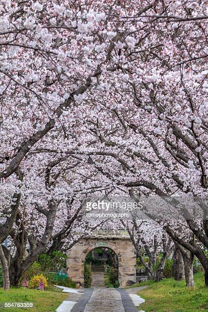 arch of japanese sakura blossom - arch stock pictures, royalty-free photos & images