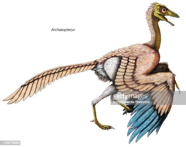 Archaeopteryx The 'Feathered' Dinosaur Of The Late Jurassic Period Is Considered The First Known Bird
