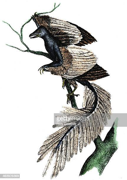 Archaeopteryx the first bird 1886 Artist's reconstruction of an archaeopteryx which made its appearance about 170 million years ago based on fossil...