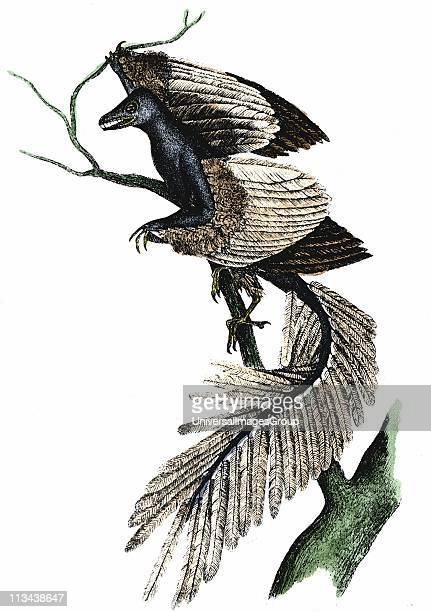Archaeopteryx The First Bird Artist's reconstruction of archaeopteryx which made its appearance about 170 million years ago based on fossil records...