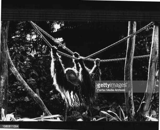 Archie the 18 yr old orangutan at Taronga Zoo during one of his first taste's in his new rainforest enclosureJust hanging ***** in the new orangutan...