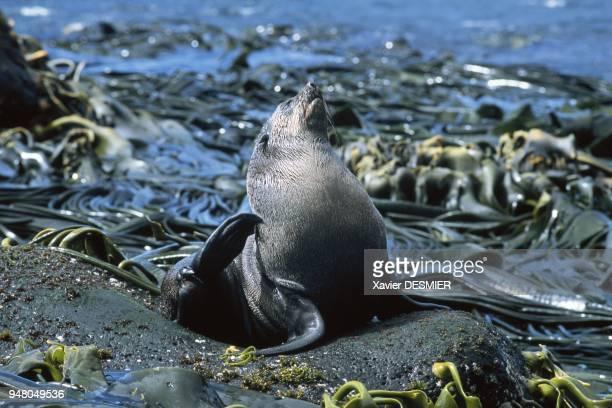 Archipel de Crozet L'otarie de Kerguelen ou antarctique avec une population beaucoup plus importante que sa ' cousine ' a aussi frôlé l'extinction à...