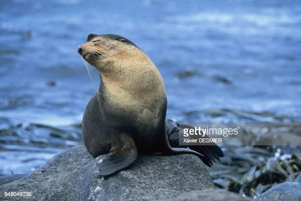 Archipel de Crozet L'otarie subantarctique ici un mâle avec sa fourrure caractéristique Cette espèce après avoir frôlé l'extinction à la fin du 19ème...