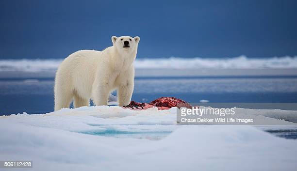 arctic bear - ice floe stock pictures, royalty-free photos & images
