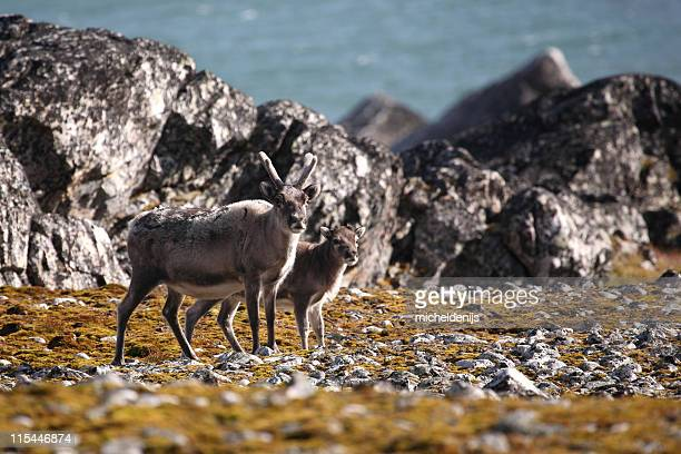 Arctic Caribou Reindeer And Calf