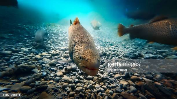 arctic char, oxara river, thingvellir national park, iceland - freshwater stock pictures, royalty-free photos & images