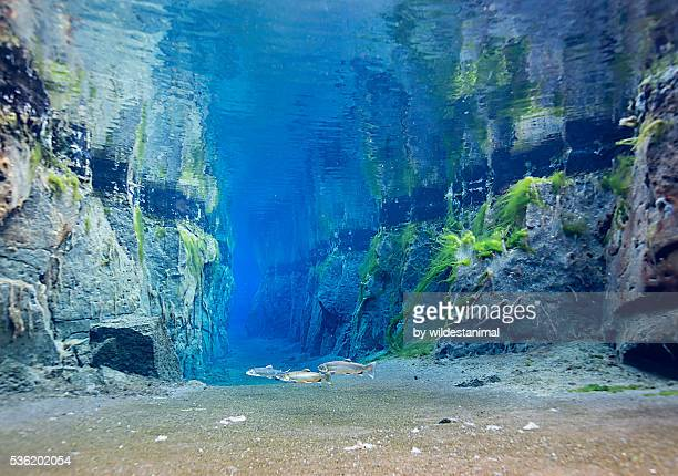 Arctic Charr In The Fissure