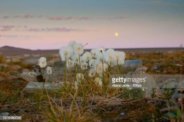 arctic cotton at dusk