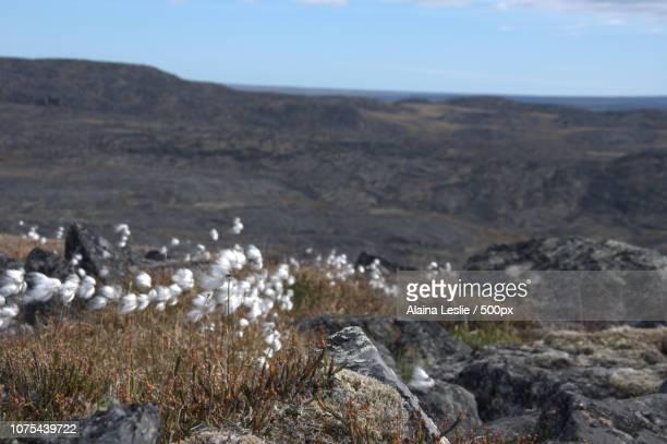 Arctic Cotton at Kugaaruk