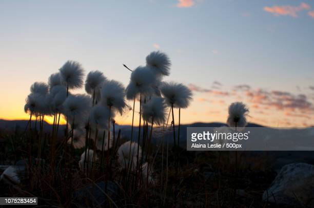 Arctic Cotton in front of Mountains at Dusk