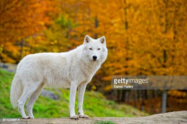 arctic fall - loup blanc photos et images de collection
