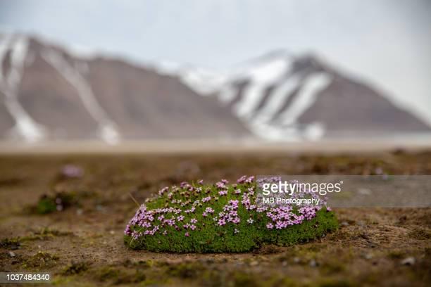 arctic flowers - muschio flora foto e immagini stock