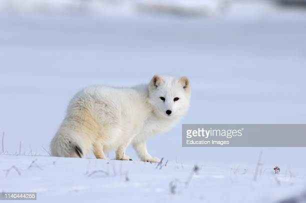 Arctic Fox Alopex lagopus native to Arctic regions of Asia Europe and America