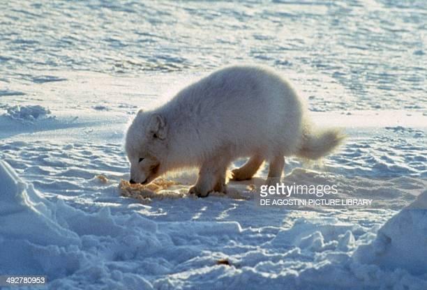 Arctic Fox Canidae