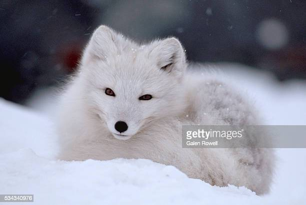 arctic fox curled up in winter snow - arctic fox stock pictures, royalty-free photos & images