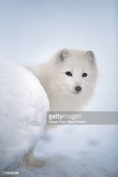 arctic fox exploring fresh snow - arctic fox stock pictures, royalty-free photos & images