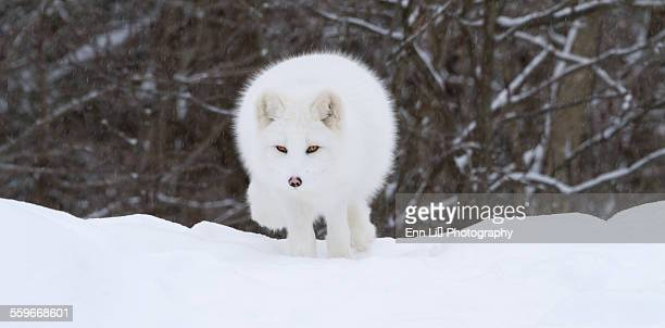 Arctic fox facing the camera