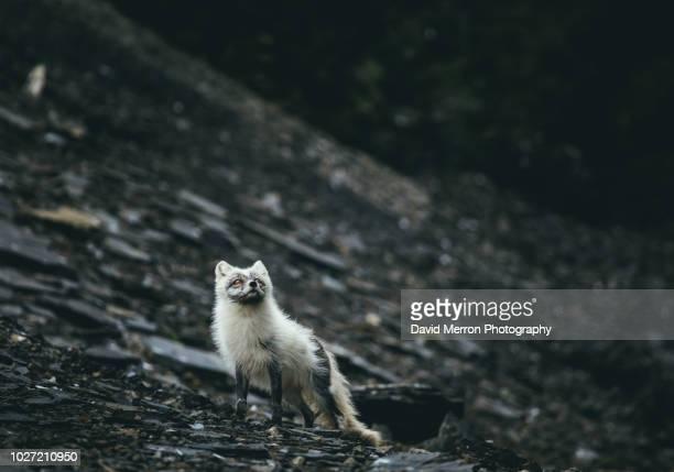 arctic fox hunting - mamífero fotografías e imágenes de stock