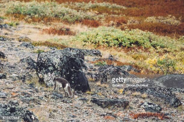 Arctic fox in autumn red tundra near Kangerlussuaq