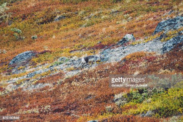 Arctic fox in autumn red tundra near Kangerlussuaq