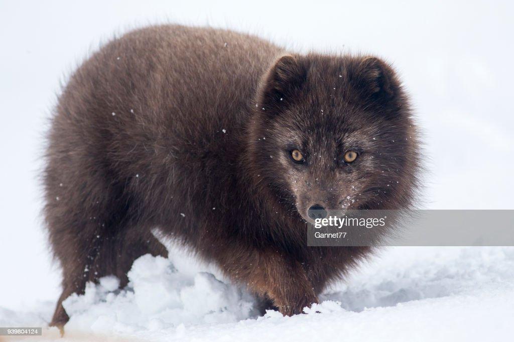 Arctic Fox in Snow, Iceland : Stock Photo