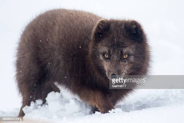 arctic fox in snow, iceland - arctic fox stock pictures, royalty-free photos & images