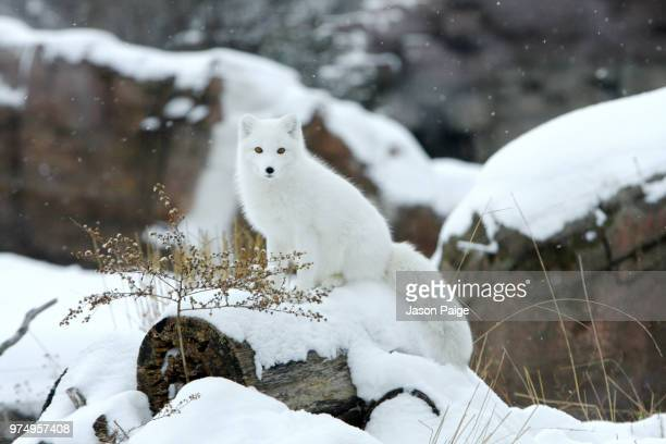 arctic fox in snow - arctic fox stock pictures, royalty-free photos & images