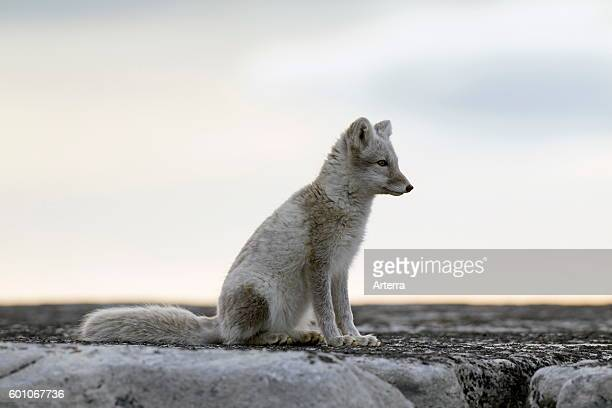 Arctic fox in summer coat Svalbard Norway