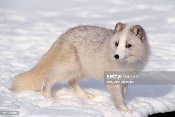arctic fox in the snow - mary fox stock-fotos und bilder