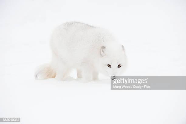 Arctic fox (Vulpes lagopus) in the snow, Triple D Ranch