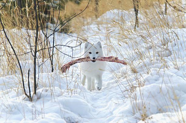 Arctic Fox (Alopex Lagopus) In White Winter Phase