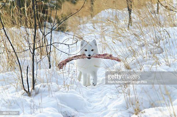 Arctic Fox (Alopex Lagopus) In White Winter Phase