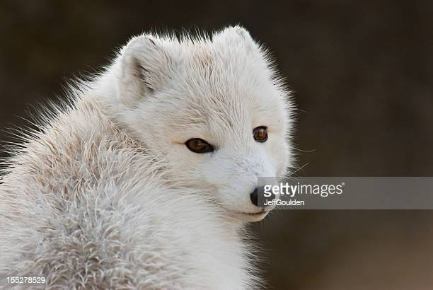 arctic fox in winter coat - arctic fox stock pictures, royalty-free photos & images