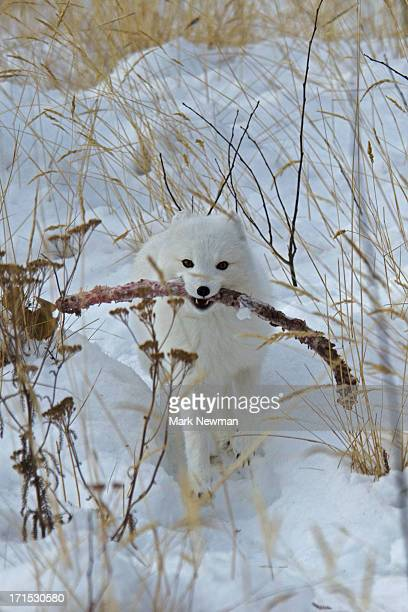 Arctic Fox in winter running carrying a long rib