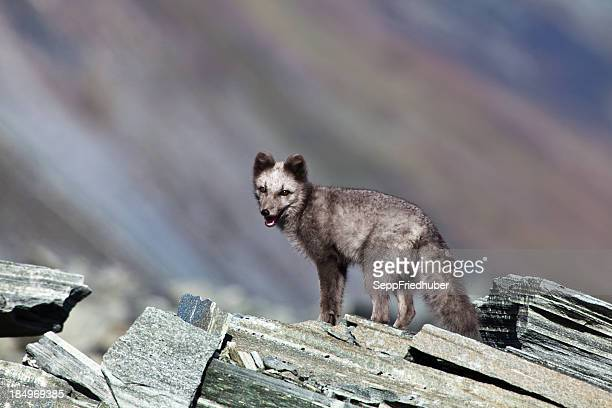 Arctic fox is standing on a rock