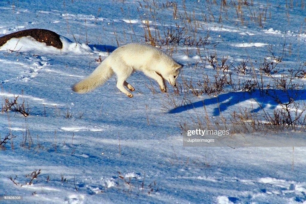 Arctic fox jumping in midair : Stock Photo