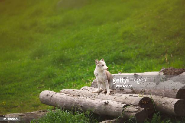 arctic fox kit - dustin abbott stock pictures, royalty-free photos & images