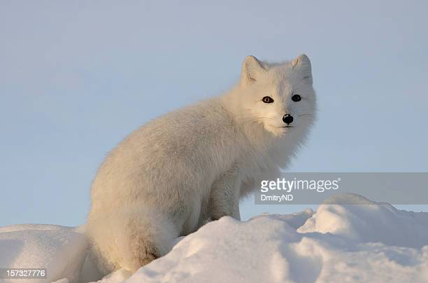 Arctic fox looks into the distance .