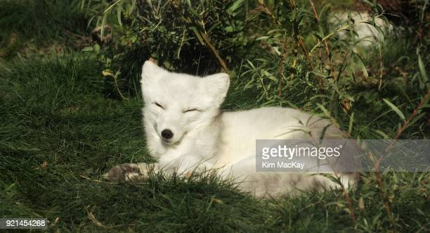 Arctic Fox napping in the grass