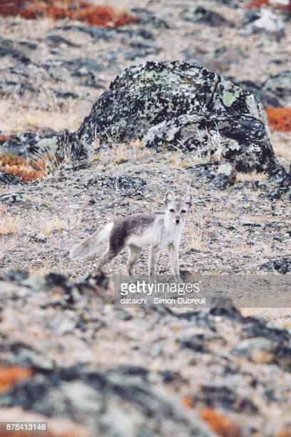 Arctic fox near Kangerlussuaq