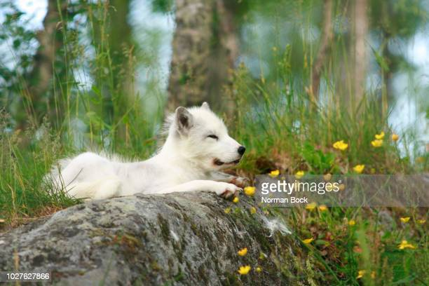 arctic fox (alopex lagopus), norway, scandinavia - vista lateral stock pictures, royalty-free photos & images