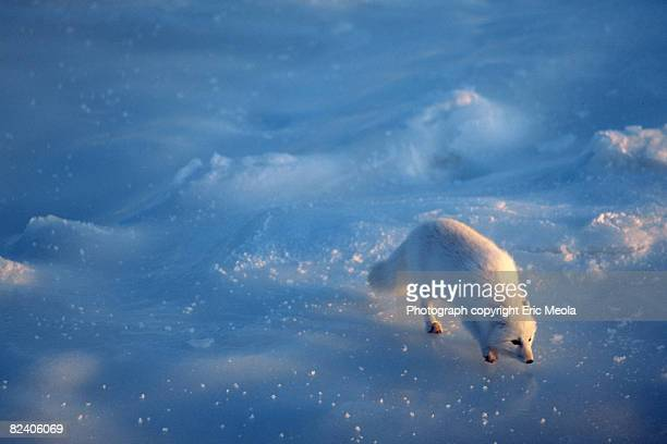 arctic fox on ice - arctic fox stock pictures, royalty-free photos & images