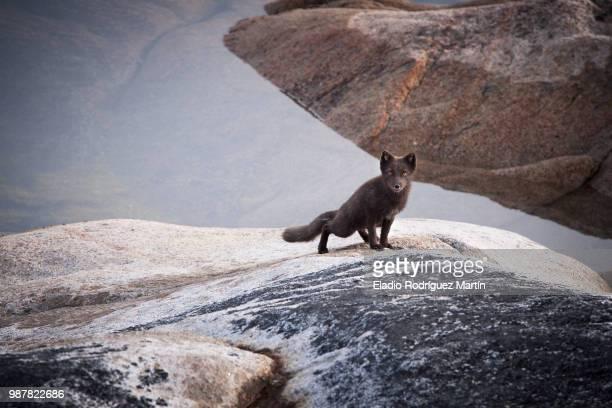 Arctic fox (vulpes lagopus) on rock looking at camera, Iceland