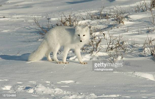 Arctic fox on snow covered tundra near Hudson Bay