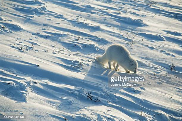 Arctic fox (Alopex lagopus) on snow, elevated view
