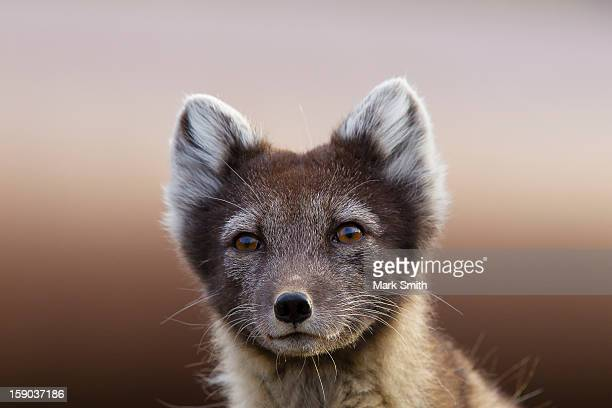 arctic fox (vulpes lagopus) - arctic fox stock pictures, royalty-free photos & images
